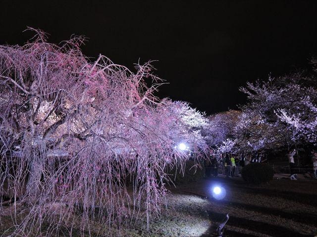 20160402_夜桜とか (52)_R