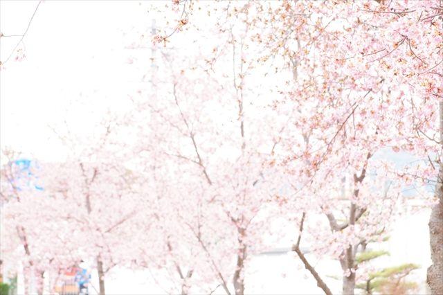 20170318_小野河津桜 (31)_R