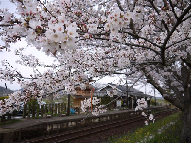 20140405_加西の桜 (41)_R
