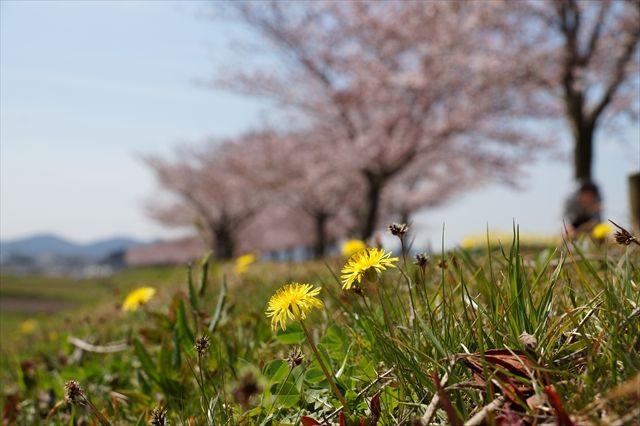 20160402_桜ツー (370)_R