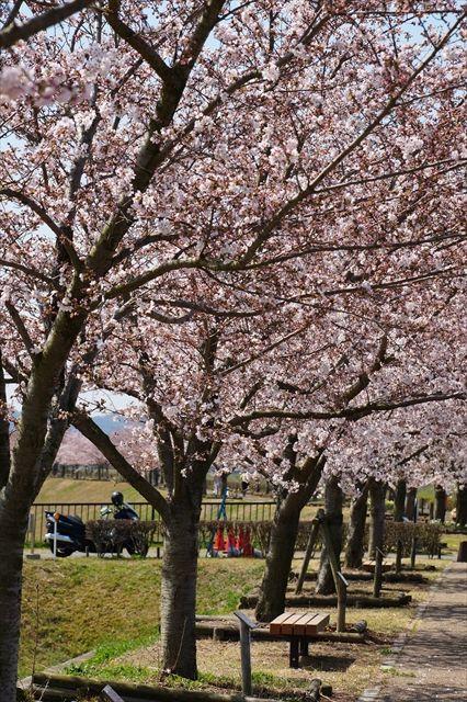 20160402_桜ツー (259)_R