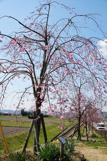 20160402_桜ツー (173)_R
