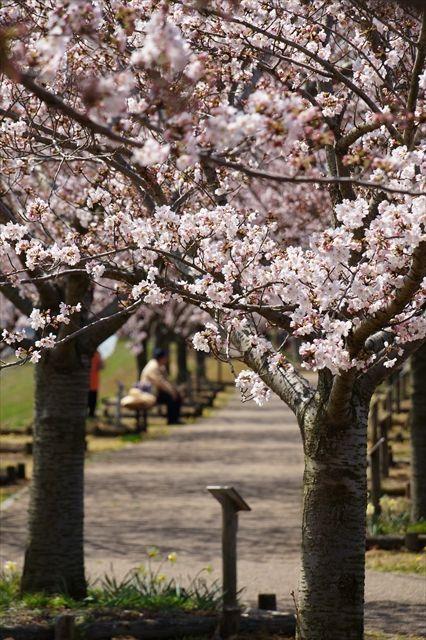 20160402_桜ツー (309)_R
