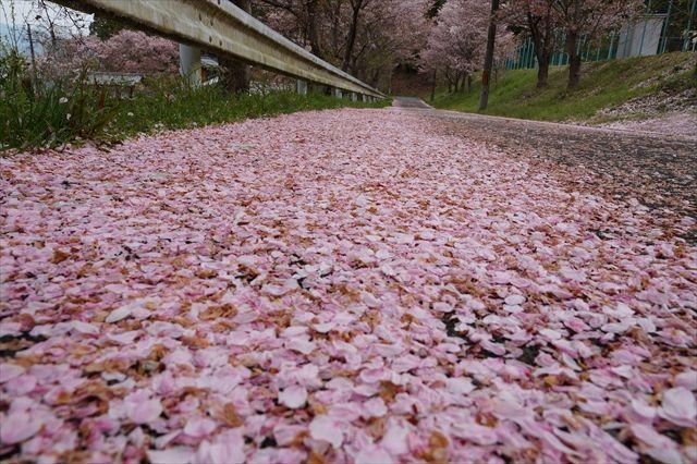 20160410_桜舞い散る (107)_R