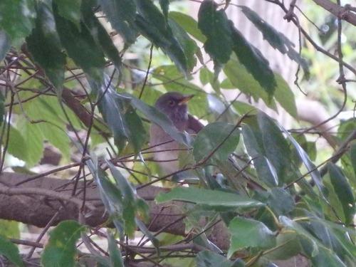 小鳥 (9)