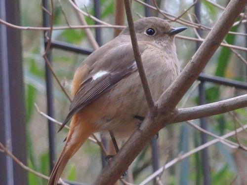 小鳥 (8)
