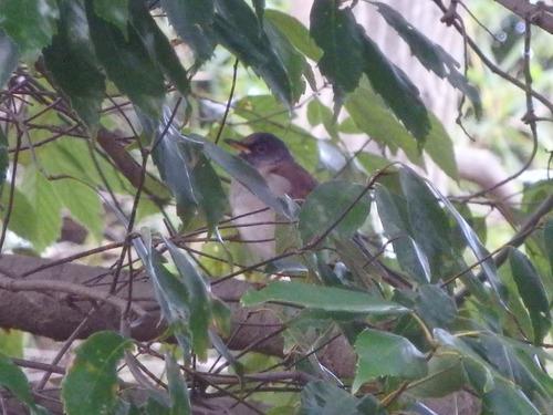 小鳥 (6)