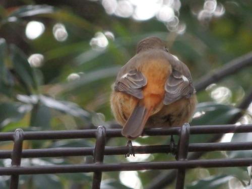 小鳥 (5)