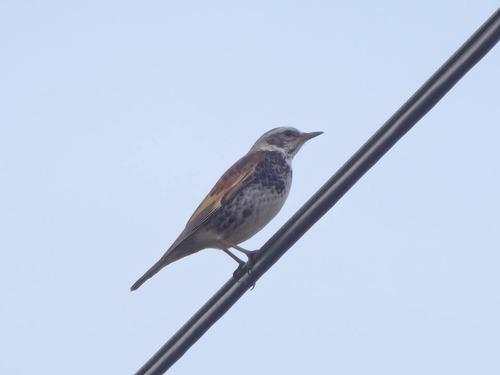 小鳥 (4)