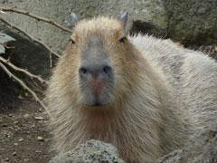 kapibara1