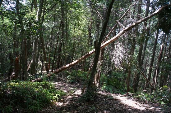 倒れかけの倒木