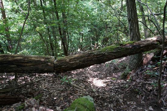 切られた倒木