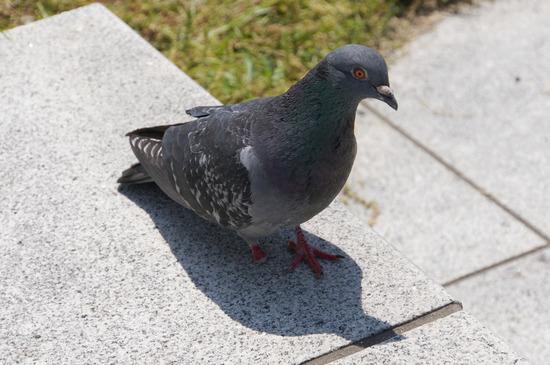 傷ついた鳩