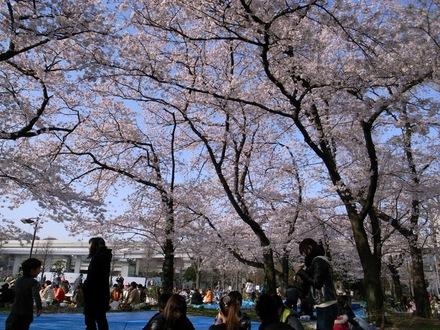 花見 - 蒔田公園1