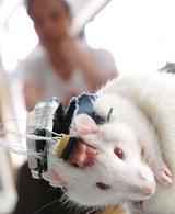 マウスにマイクロチップを埋め込む