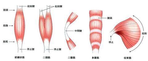 身体のABC第9弾【骨格筋の形状】...