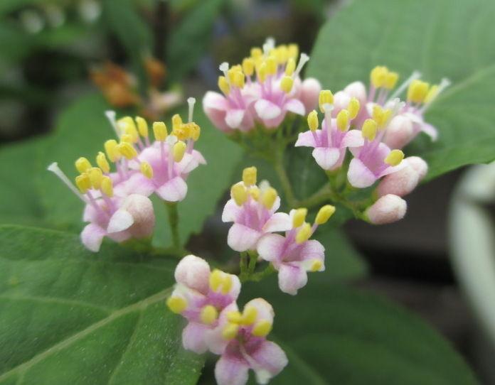 紫式部 花 盆栽