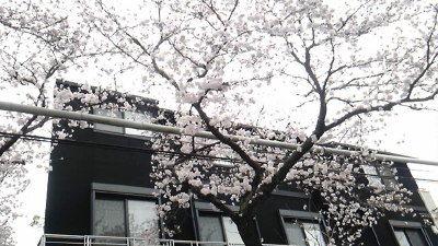 20160403inasakura3