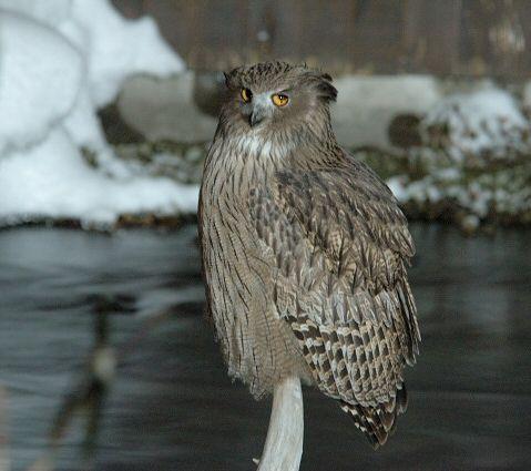 fish-owl