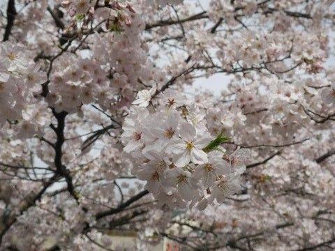 sakura_160404 (5)