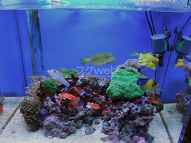 080319フグ水槽全体 フグweb −ハコフグとフグと海水魚と second season−: