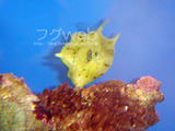 サンゴ大好き?コンゴウフグ