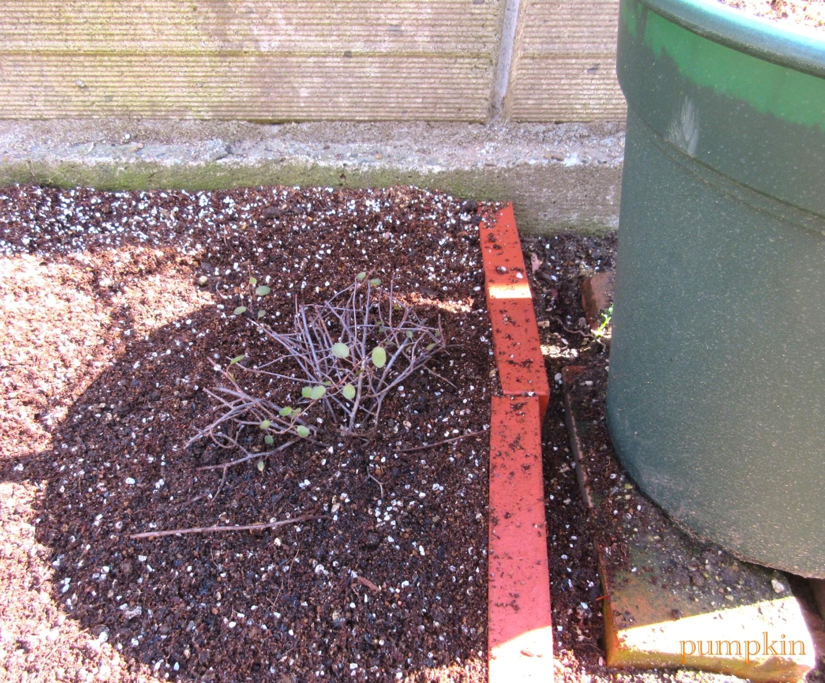 ガーデニングビギナーが始めるゆる~い庭ライフ  3月11日の庭仕事コメントトラックバック