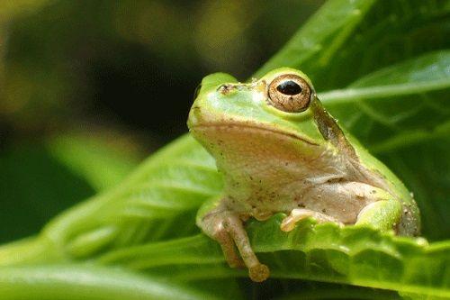 【!?】買ったサラダに生きたカエルが入っていた!→そのカエルの末路wwwwww