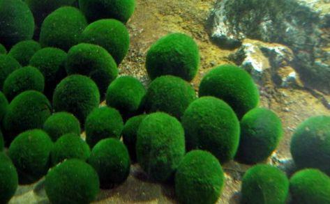 藻を約6年間も水を変え続け大切に育ててきた結果、衝撃の事実が発覚wwwww