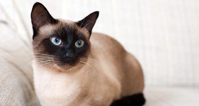 【衝撃】俺らがずっと「シャム猫」だと思ってたネコ、シャム猫じゃなかった…