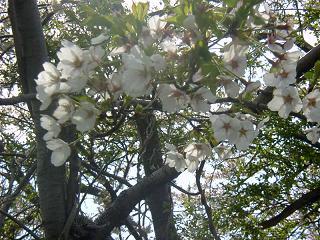桜吹雪アップ