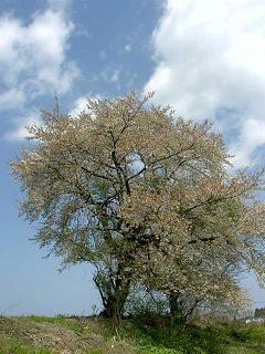 桜吹雪全体