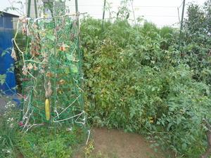 DSC04035.JPG家庭菜園成れの果て、ミニトマト継続中