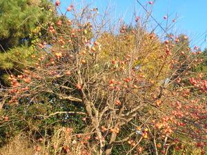 DSC06429 (1) 14;57 柿の実