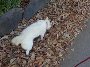 DSC06445 (1) 15:25 落ち葉の散歩道