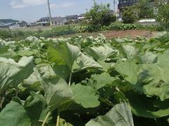 2020 05 24 今日の収穫 ○井さん畑から籐蕗