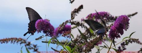 ブットレアの花に集るミヤマカラスアゲハ