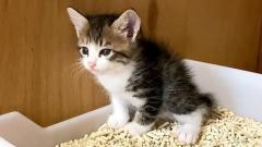 トイレ初心者で勉強中の子猫。出た瞬間に思わず声が出ちゃう様子が可愛すぎた♡