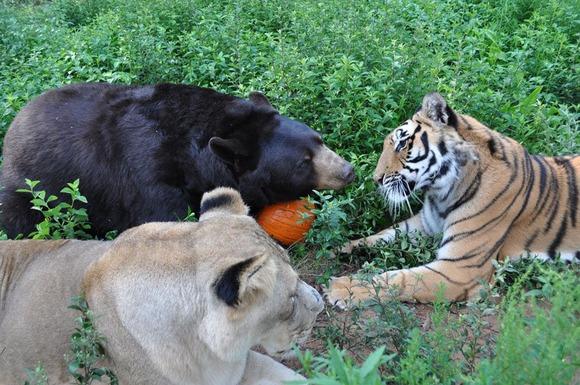 blt-bear-lion-tiger-noahs-ark-rescue-9