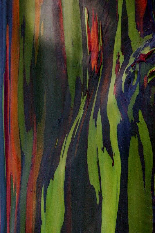 rainbow-eucalyptus-6[3]