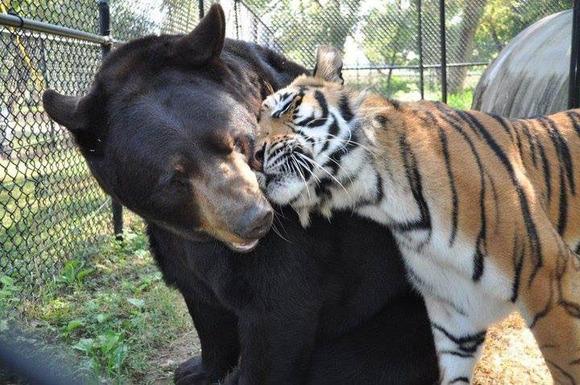 blt-bear-lion-tiger-noahs-ark-rescue-1