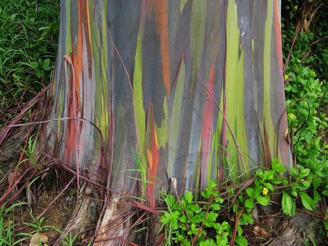 rainbow-eucalyptus-4[2]