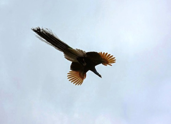 peacock in flight 1