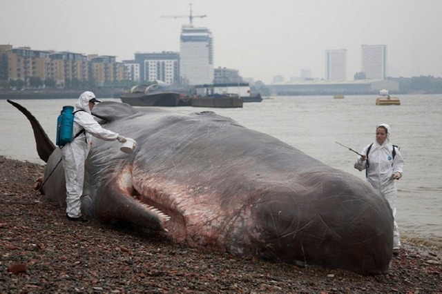 beachedwhale02