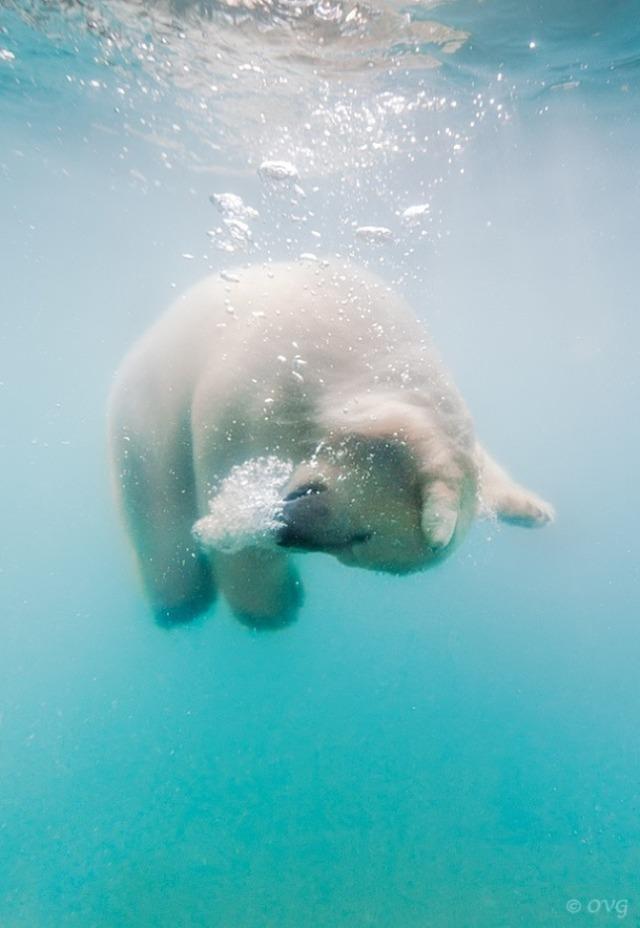 polarbear00