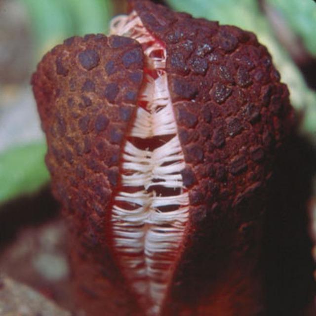 Hydnora_africana-SC-5_300