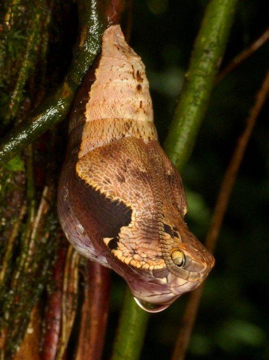 Dynastor-darius-snake2-550x735