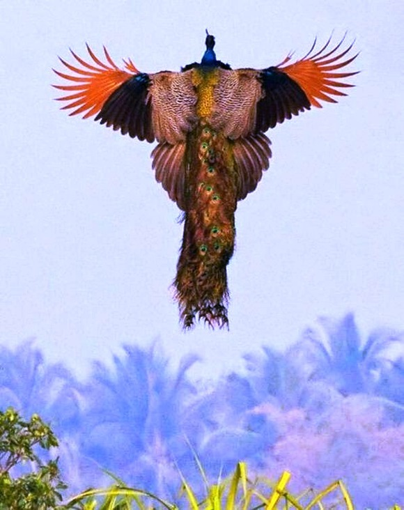 peacock in flight 10