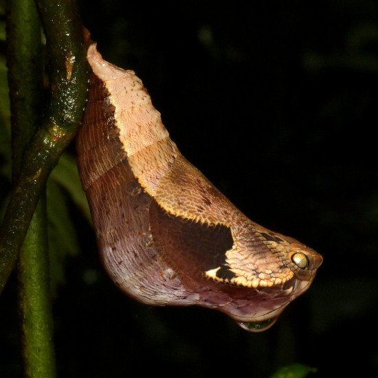 Dynastor-darius-snake5-550x551