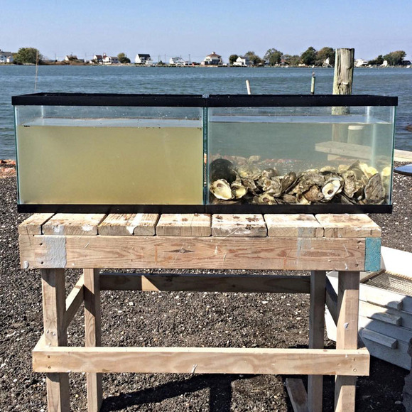 two-tanks-filled-with-same-water-one-has-oysters-in-it-to-filter